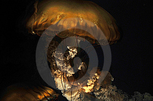 Jellyfish - Sea Nettle Royalty Free Stock Photos - Image: 7780478
