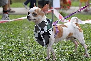 Chihuahua 01 Stock Image - Image: 7786471