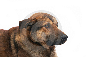 Dog Royalty Free Stock Image - Image: 7787286