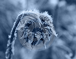 Frozen Sunflower Stock Image - Image: 7791941