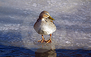 Duck On Ice Stock Photo - Image: 7792390