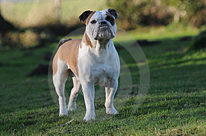 English Bulldog Royalty Free Stock Images - Image: 7793419