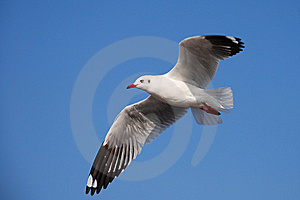 Beautiful   White Seagull Stock Photography - Image: 7794462