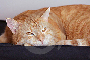 Ginger Cat Royalty Free Stock Images - Image: 7796309