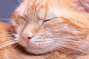 Ginger Cat Stock Image - Image: 7796321