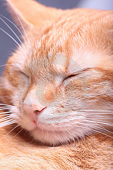 Ginger Cat Stock Photo - Image: 7796330