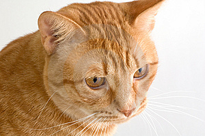 Orange Tabby Cat Stock Image - Image: 7797661