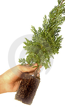Plant On Casuarina Tree Royalty Free Stock Photos - Image: 7798548