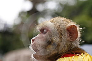Thinking Monkey Stock Photography - Image: 7801422