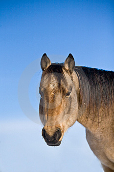 Quarter Horse Stud In Winter Stock Image - Image: 7805321