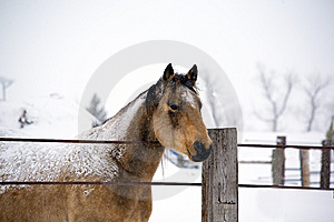 Quarter Horse Stud In Winter Royalty Free Stock Photos - Image: 7805388