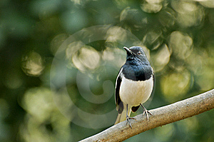 Orientel Magpie  Robin Stock Photo - Image: 7806440