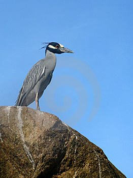 Yellow-Crowned Night Heron Stock Images - Image: 7806624