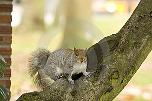 Squirrel On Tree Branch Royalty Free Stock Photography - Image: 7811417