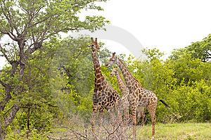 Giraffe In Kruger National Park Royalty Free Stock Photos - Image: 7816368