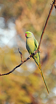 Indian Green Parrot Royalty Free Stock Image - Image: 7817406