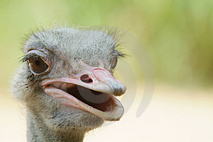 Ugly Ostrich Royalty Free Stock Image - Image: 7819106