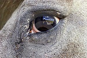Horse Eye Reflection. Royalty Free Stock Image - Image: 7819396