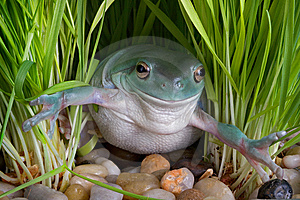 Whites Tree Frog In Grass Royalty Free Stock Photo - Image: 7819965