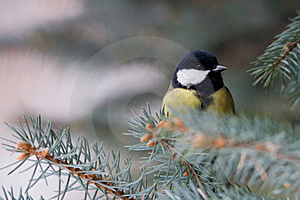 Great Tit Royalty Free Stock Photos - Image: 7820288