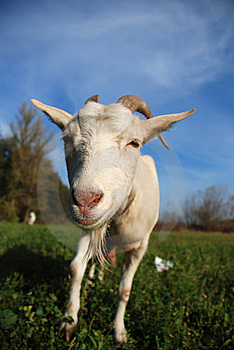 Goat On The Meadow Stock Photo - Image: 7820990