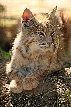 Basking Bobcat Stock Photography - Image: 7825182
