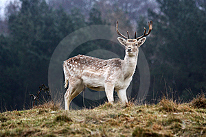 Stag Stock Photos - Image: 7829513