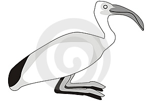 Ibis Royalty Free Stock Photo - Image: 7829635