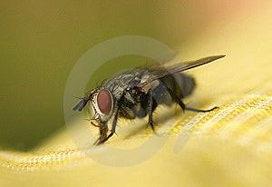 Big Eyed Fly Stock Photo - Image: 7831070