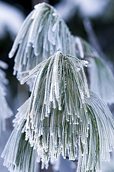 Frozen Branch Of Pine. Royalty Free Stock Photography - Image: 7842087