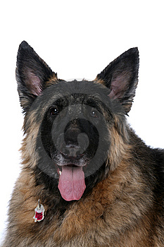 Big Mixed Breed Dog With Tongue Hanging Out Royalty Free Stock Photography - Image: 7847157