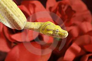 Snake In The Roses Royalty Free Stock Photo - Image: 7850255
