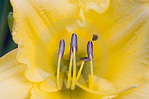 Yellow Day Lily Royalty Free Stock Photography - Image: 7851217