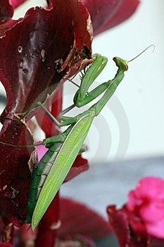 Praying Mantis (Mantis Religiosa) Stock Image - Image: 7852371
