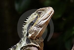 Lizard Headshot Stock Image - Image: 7852681