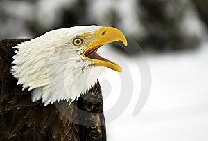 Screaming Bald Eagle (Haliaeetus Leucocephalus) Royalty Free Stock Image - Image: 7852986