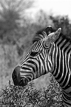 Zebra Portrait Stock Image - Image: 7853871