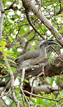 Hornbill Stock Images - Image: 7854814