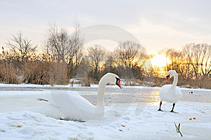 Two Swan Stock Photo - Image: 7857350