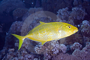 Orangespotted Trevally Royalty Free Stock Photo - Image: 7857825