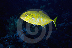 Orangespotted Trevally Stock Photography - Image: 7857842