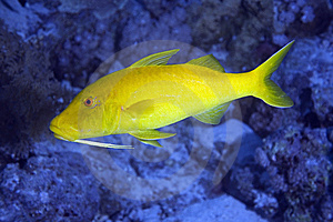 Yellowsaddle Goatfish Stock Photography - Image: 7857852