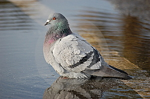 Eric The Pigeon Stock Photos - Image: 7859683