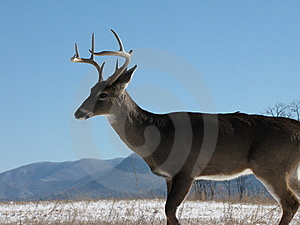 Big White Tailed Buck Deer Stock Photography - Image: 7861562