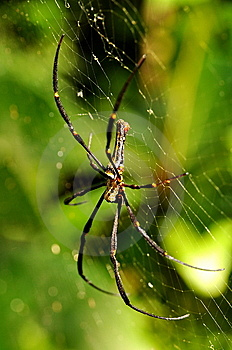 Golden Orb Web Spider Royalty Free Stock Image - Image: 7867236
