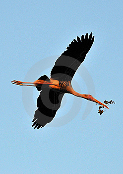 Painted Stork Royalty Free Stock Image - Image: 7874016