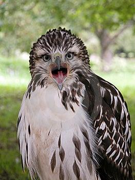 Hawk Portrait Royalty Free Stock Image - Image: 7874176