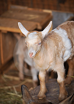 Barn Yard Farm Animal Baby Billy Goat Royalty Free Stock Photo - Image: 7875945