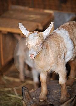 Barn Yard Farm Animal Baby Billy Goat Royalty Free Stock Photo - Image: 7875945