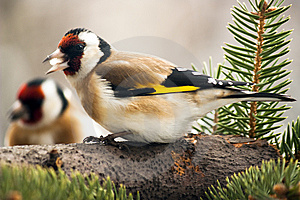 Goldfinchs Feeding Stock Images - Image: 7886684